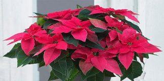 Những loại cây cần tránh trồng trong nhà nếu không muốn tán gia bại sản